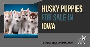 siberian husky puppies and