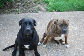 black american bulldog lab mix. Perfect Black For Black American Bulldog Lab Mix R