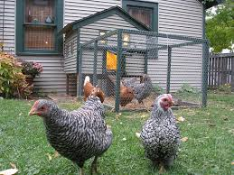 Chickens In The City Limits  Xeniau0027s Word On The StreetXeniau0027s How To Keep Backyard Chickens