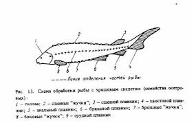 Технология производства полуфабрикатов из рыбы Обработка рыбы с хрящевым скелетом