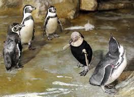 featherless penguin. Beautiful Penguin A Featherless Humboldt Penguin 2nd R I In Featherless Penguin S