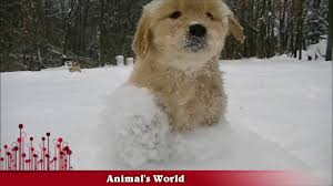 golden retriever puppies playing in snow.  Snow Adorable Golden Retriever Puppies In The Snow Throughout Playing In Snow T