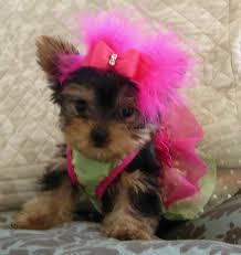 cute yorkie puppies for sale. Simple Yorkie Bree Female Yorkie Puppy On Cute Yorkie Puppies For Sale Y