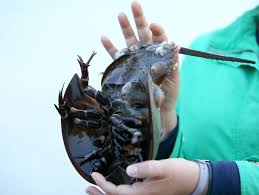 Crab Size Chart Nj Horseshoe Crabs Mate In The Moonlight Why Its Important We