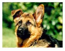 Leerburg Taping German Shepherds Ears