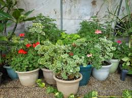 if you have a bright room or window why not fill that space with a gorgeous house plant for example geraniums can provide a great deal of satisfaction as