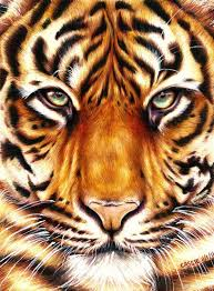color tiger drawing. Contemporary Tiger Colored Pencil Art  Google Search In Color Tiger Drawing