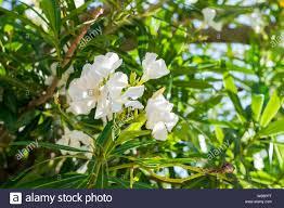 White oleander flowers. Nerium oleander, Apocynaceae. Close up Stock Photo  - Alamy