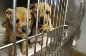 animal shelter pictures. Simple Pictures Susan PoagTimesPicayuneTwo Puppies Peer Out Of A Cage At The West Bank  Jefferson Parish Animal Shelter In Marrero On January 27 2011 Intended Pictures