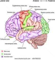 pictures of cerebral cortex