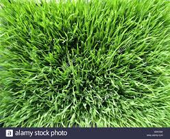 grass field from above. Green Wheatgrass Field From Above - Stock Image Grass A