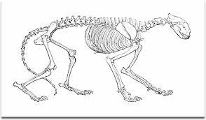 shark skeletal system diagram wiring diagram tiger bone diagram data wiring diagramtiger skeleton diagram wiring diagrams schematic tiger shark diagram tiger bone
