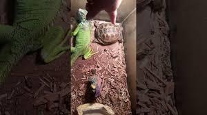 Broken iguana femur - YouTube
