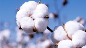 Image result for cotton
