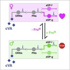 a bidirectional circuit switch reroutes pheromone signals in male figure thumbnail fx1