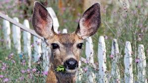how to keep deer out of your garden. Deer Eating Flowers How To Keep Out Of Your Garden