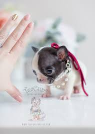 teacup french bulldog. Beautiful French Teacup Puppies Tiny French Bulldog Puppy For Sale On