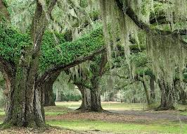 why conserve small forest fragments and individual trees in urban live oak trees resurrection fern and spanish moss credit treehuggerimages com