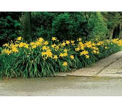 Image result for yellow daylily