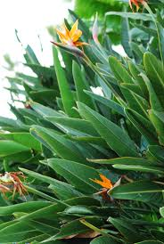 Strelitzia reginae  Outdoor PlantsGarden PlantsTropical GardenGreen ...