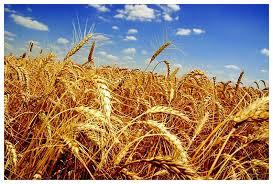 Народно хозяйственное значение и биологические особенности озимой  Пшеница