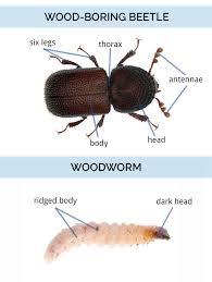 Black Beetle Identification Chart What Do Wood Boring Beetles Look Like Wood Bug