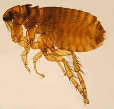 alternative flea control s