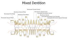 Mixed Dentition News Dentagama