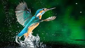birds wallpaper. Perfect Birds Beautiful Hd Birds Wallpapers Kingfishers Intended Wallpaper R