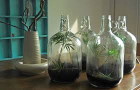 the leafy plants in these gallon glass jugs are known as parlor palms