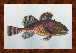 Stampe Antiche Cucina : Splendide stampe antiche con soggetto pesci litografie colorate