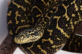 morelia spilota cheynei jungle carpet python zebra jungle s73 carpet
