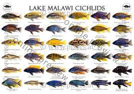 African Cichlid Species Identification Related Keywords