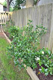 gardenias growing like crazy