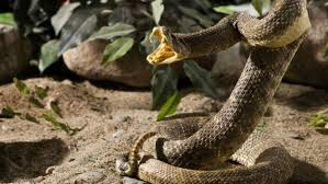 rattlesnake. Simple Rattlesnake An Arizona Man Has Learned Not To Play With Snakes Anymore Inside Rattlesnake 8