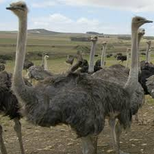 featherless ostrich. Beautiful Ostrich Feed Management For Ostrich Farming Business In Featherless N