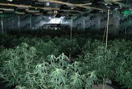 pueblo county deputies arrest three in connection with illegal 230 plant grow the denver post