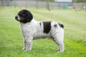 When making a toast it is common to say: Spanish Water Dog Breeds A To Z The Kennel Club