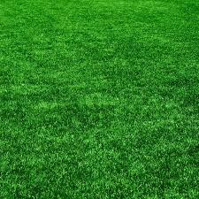 The grass from golf field Texture of green grass Stock Photo