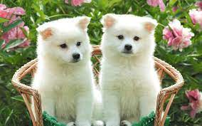 Cute Puppy HD Wallpapers