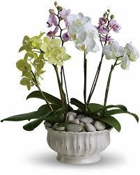 regal orchids standard