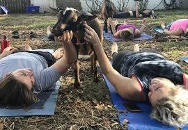goat yoga red wagon goats