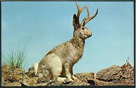the jackalope a cottontail or domestic rabbit or jackrabbit mounted with the horns of a young antelope deer or goat here are several pictures of