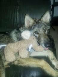 wolf puppy
