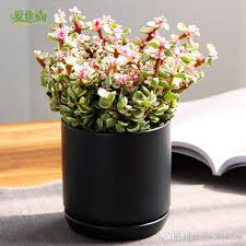 small office plant. Is Our Dance Fleshy Seeds Small Potted Gagaku Plant Office Plants Flower Balcony Xiyang Seed Pen Jinghua Succulent C