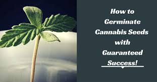 How To Germinate Flower Seeds Paper Towel How To Germinate Cannabis Seeds With Guaranteed Success