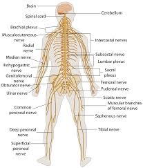 Central Nervous System Vs Peripheral Nervous System Venn Diagram Venn Diagram For Inspection Free Wiring Diagram For You