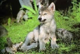 Rsultat de recherche dimages pour petite image loup sauvage