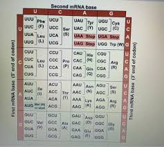 Use Your Codon Chart To Determine The Amino Acid Sequence Solved Second Mrna Base Phe Ucu Ucc Ser Uac Y Ugc C C