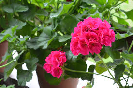 geraniums how to plant grow and care for geraniums the old farmer s almanac